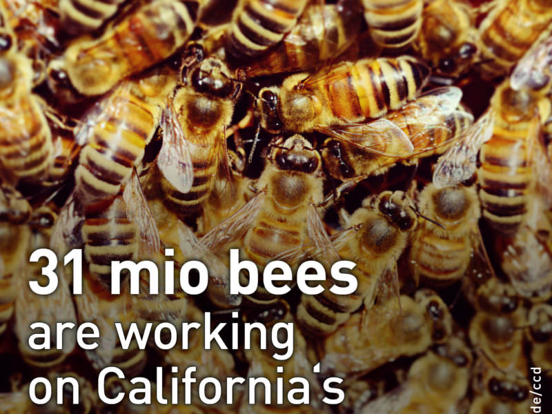 31 mio bees are working on california's almond farms.